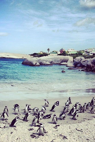 11---Penguins-on-Bolder-Beach