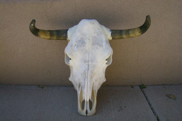 20 Steer Skull Horn - rmckbones - 45.00